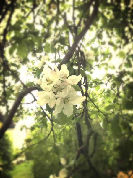 3. Oliver Leppo, Kukkakimppu puussa.Vuodenajasta ei voi erehtyä, kun katsoo tätä Oliver Lepon kuvaamaa omenapuun kukintoa, todettiin tuomaristossa. Myös alaviistosta valittu kuvakulma oli tuomaristolle mieleinen.